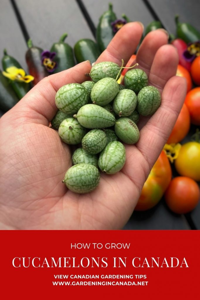 How To Grow Cucamelons In Canada